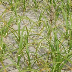 Plant form: Carex kobomugi. ~ By Leslie Mehrhoff. ~ Copyright © 2018 CC BY-NC 3.0. ~  ~ Bugwood - www.bugwood.org/