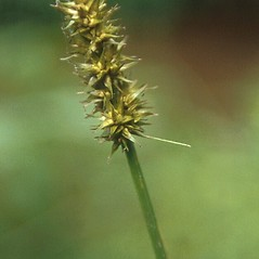 Inflorescence: Carex laevivaginata. ~ By Andrew Hipp. ~ Copyright © 2019 Andrew Hipp. ~ The Morton Arboretum, http://systematics.morton.org ~ Robert W. Freckmann Herbarium, U. of Wisconsin-Stevens Point