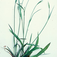 Plant form: Carex laxiflora. ~ By Charles Bryson. ~ Copyright © 2019 CC BY-NC 3.0. ~  ~ Bugwood - www.bugwood.org/