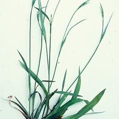 Plant form: Carex laxiflora. ~ By Charles Bryson. ~ Copyright © 2018 CC BY-NC 3.0. ~  ~ Bugwood - www.bugwood.org/