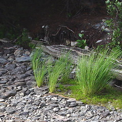 Plant form: Carex lenticularis. ~ By Donald Cameron. ~ Copyright © 2018 Donald Cameron. ~ No permission needed for non-commercial uses, with proper credit