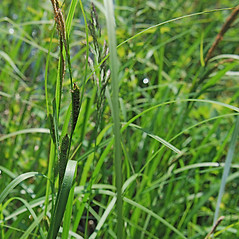Leaves: Carex lenticularis. ~ By Ryan Batten. ~ Copyright © 2019. ~ ryanbatten2.0[at]gmail.com ~ CalPhotos - calphotos.berkeley.edu/flora/