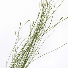Leaves: Carex leptalea. ~ By CONN Herbarium. ~ Copyright © 2017 CONN Herbarium. ~ Requests for image use not currently accepted by copyright holder ~ U. of Connecticut Herbarium - bgbaseserver.eeb.uconn.edu/