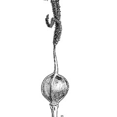 Achenes: Carex livida. ~ By Mary Barnes Pomeroy. ~ Copyright © 2018 Estate of Herbert Mason. ~ Any use permitted ~ Mason, HL. 1957. A flora of the Marshes of California. U. of California Press, Berkeley and Los Angeles, Library of Congress number 57-7960