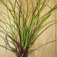 Leaves: Carex lucorum. ~ By Jill Weber. ~ Copyright © 2020 Jill Weber. ~ jillweber03[at]gmail.com