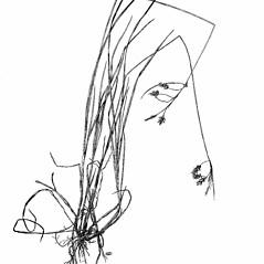 Plant form: Carex magellanica. ~ By Harry Creutzburg. ~ Copyright © 2019 The New York Botanical Garden. ~ http://www.copyright.com ~ Kenneth K. Mackenzie. North American Cariceae, Vols. 1 & 2. Copyright 1940 The New York Botanical Garden