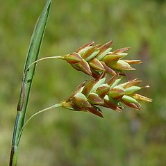 Perigynia: Carex magellanica. ~ By Arthur Haines. ~ Copyright © 2018. ~ arthurhaines[at]wildblue.net