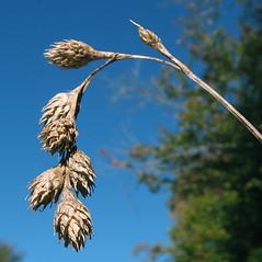 Inflorescence: Carex merritt-fernaldii. ~ By Marilee Lovit. ~ Copyright © 2020 Marilee Lovit. ~ lovitm[at]gmail.com