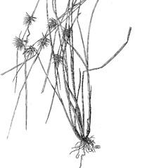 Plant form: Carex michauxiana. ~ By Harry Creutzburg. ~ Copyright © 2018 The New York Botanical Garden. ~ http://www.copyright.com ~ Kenneth K. Mackenzie. North American Cariceae, Vols. 1 & 2. Copyright 1940 The New York Botanical Garden