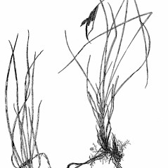 Plant form: Carex nigra. ~ By Harry Creutzburg. ~ Copyright © 2018 The New York Botanical Garden. ~ http://www.copyright.com ~ Kenneth K. Mackenzie. North American Cariceae, Vols. 1 & 2. Copyright 1940 The New York Botanical Garden