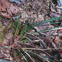 Plant form: Carex nigromarginata. ~ By Charles Bryson. ~ Copyright © 2020 CC BY-NC 3.0. ~  ~ Bugwood - www.bugwood.org/
