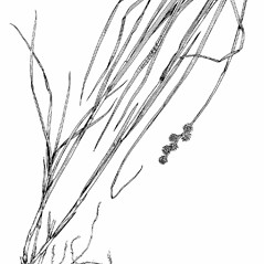 Plant form: Carex normalis. ~ By Southern Illinois University Press. ~ Copyright © 2017 Southern Illinois University Press. ~ Requests for image use not currently accepted by copyright holder ~ Southern Illinois U. Press