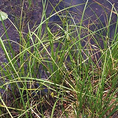 Plant form: Carex oligosperma. ~ By Michael Hassler. ~ Copyright © 2017 Michael Hassler. ~ Requests for image use not currently accepted by copyright holder ~ Flowering Plants of Pennsylvania - www.botanik.uni-karlsruhe.de/FloraKA/PA/list.php