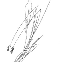 Plant form: Carex ovalis. ~ By Harry Creutzburg. ~ Copyright © 2018 The New York Botanical Garden. ~ http://www.copyright.com ~ Kenneth K. Mackenzie. North American Cariceae, Vols. 1 & 2. Copyright 1940 The New York Botanical Garden