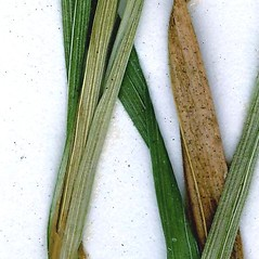 Leaves: Carex pallescens. ~ By CONN Herbarium. ~ Copyright © 2018 CONN Herbarium. ~ Requests for image use not currently accepted by copyright holder ~ U. of Connecticut Herbarium - bgbaseserver.eeb.uconn.edu/
