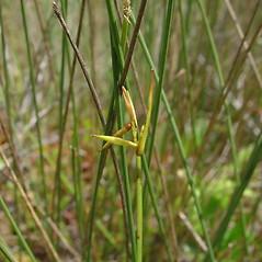 Inflorescence: Carex pauciflora. ~ By Glen Mittelhauser. ~ Copyright © 2019 Glen Mittelhauser. ~ www.mainenaturalhistory.org
