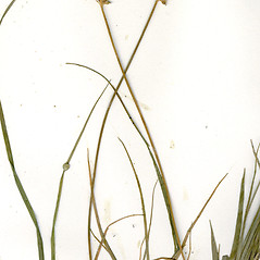 Inflorescence: Carex peckii. ~ By CONN Herbarium. ~ Copyright © 2018 CONN Herbarium. ~ Requests for image use not currently accepted by copyright holder ~ U. of Connecticut Herbarium - bgbaseserver.eeb.uconn.edu/