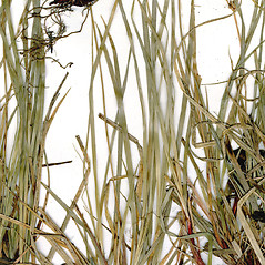 Leaves: Carex peckii. ~ By CONN Herbarium. ~ Copyright © 2018 CONN Herbarium. ~ Requests for image use not currently accepted by copyright holder ~ U. of Connecticut Herbarium - bgbaseserver.eeb.uconn.edu/