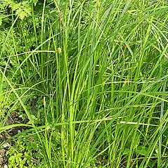 Plant form: Carex pellita. ~ By Chicago Botanic Garden . ~ Copyright © 2018 CC BY-NC-SA 3.0. ~ None required ~ Morphbank - Biological Imaging - www.morphbank.net