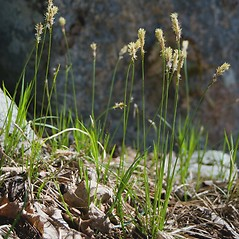 Plant form: Carex pensylvanica. ~ By Ben Kimball. ~ Copyright © 2018 Ben Kimball. ~ alpinefin[at]comcast.net