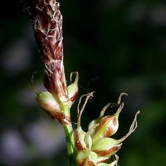 Perigynia: Carex pensylvanica. ~ By Keir Morse. ~ Copyright © 2018 Keir Morse. ~ www.keiriosity.com ~ www.keiriosity.com