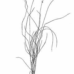 Plant form: Carex radiata. ~ By Harry Creutzburg. ~ Copyright © 2017 The New York Botanical Garden. ~ http://www.copyright.com ~ Kenneth K. Mackenzie. North American Cariceae, Vols. 1 & 2. Copyright 1940 The New York Botanical Garden