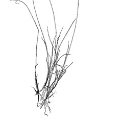 Plant form: Carex rariflora. ~ By Harry Creutzburg. ~ Copyright © 2020 The New York Botanical Garden. ~ http://www.copyright.com ~ Kenneth K. Mackenzie. North American Cariceae, Vols. 1 & 2. Copyright 1940 The New York Botanical Garden