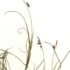 Inflorescence: Carex rariflora. ~ By CONN Herbarium. ~ Copyright © 2019 CONN Herbarium. ~ Requests for image use not currently accepted by copyright holder ~ U. of Connecticut Herbarium - bgbaseserver.eeb.uconn.edu/