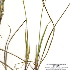 Leaves: Carex rariflora. ~ By CONN Herbarium. ~ Copyright © 2019 CONN Herbarium. ~ Requests for image use not currently accepted by copyright holder ~ U. of Connecticut Herbarium - bgbaseserver.eeb.uconn.edu/