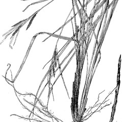 Plant form: Carex recta. ~ By Harry Creutzburg. ~ Copyright © 2017 The New York Botanical Garden. ~ http://www.copyright.com ~ Kenneth K. Mackenzie. North American Cariceae, Vols. 1 & 2. Copyright 1940 The New York Botanical Garden