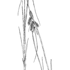 Plant form: Carex retrorsa. ~ By Charles Feddema. ~  Public Domain. ~  ~ Hermann, Frederick J. 1970. Manual of the Carices of the Rocky Mountains and Colorado Basin, US Forest Service, USDA, Agriculture Handbook No. 374, 397pp., US Government Printing Office, Washington, DC 20402