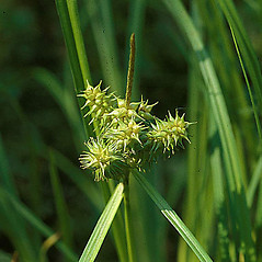 Inflorescence: Carex retrorsa. ~ By Fred Weinmann. ~ Copyright © 2019 Fred Weinmann. ~ fweinmann[at]cablespeed.com ~ U. of Washington - WTU - Herbarium - biology.burke.washington.edu/herbarium/imagecollection.php
