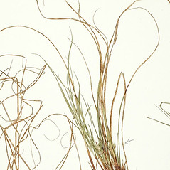Leaves: Carex reznicekii. ~ By William and Linda Steere and the C.V. Starr Virtual Herbarium. ~ Copyright © 2019 William and Linda Steere and the C.V. Starr Virtual Herbarium. ~ Barbara Thiers, Director; bthiers[at]nybg.org ~ C.V. Starr Herbarium - NY Botanical Gardens