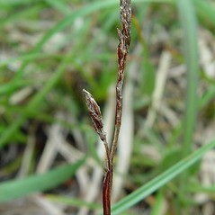 Inflorescence: Carex richardsonii. ~ By Arthur Haines. ~ Copyright © 2018. ~ arthurhaines[at]wildblue.net