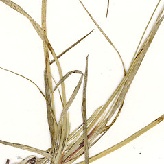 Leaves: Carex richardsonii. ~ By CONN Herbarium. ~ Copyright © 2018 CONN Herbarium. ~ Requests for image use not currently accepted by copyright holder ~ U. of Connecticut Herbarium - bgbaseserver.eeb.uconn.edu/