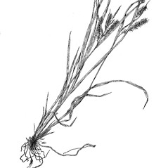 Plant form: Carex schweinitzii. ~ By Harry Creutzburg. ~ Copyright © 2018 The New York Botanical Garden. ~ http://www.copyright.com ~ Kenneth K. Mackenzie. North American Cariceae, Vols. 1 & 2. Copyright 1940 The New York Botanical Garden