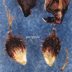 Achenes: Carex scirpoidea. ~ By USDA-NRCS PLANTS Database. ~  Public Domain. ~ None needed ~ USDA-NRCS Plants Database - plants.usda.gov/java/