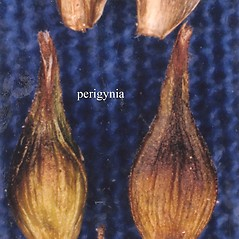 Achenes: Carex siccata. ~ By USDA-NRCS PLANTS Database. ~  Public Domain. ~ None needed ~ USDA-NRCS Plants Database - plants.usda.gov/java/