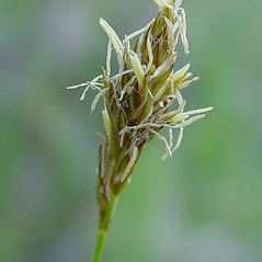 Inflorescence: Carex siccata. ~ By Arthur Haines. ~ Copyright © 2017. ~ arthurhaines[at]wildblue.net