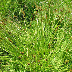 Plant form: Carex stipata. ~ By Glen Mittelhauser. ~ Copyright © 2020 Glen Mittelhauser. ~ www.mainenaturalhistory.org