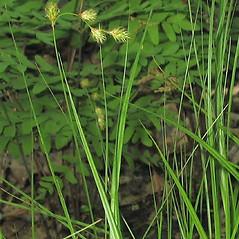 Leaves: Carex straminea. ~ By Alexey Zinovjev. ~ Copyright © 2019. ~ webmaster[at]salicicola.com ~ Salicicola - www.salicicola.com/