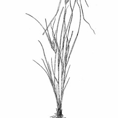 Plant form: Carex sychnocephala. ~ By Harry Creutzburg. ~ Copyright © 2018 The New York Botanical Garden. ~ http://www.copyright.com ~ Kenneth K. Mackenzie. North American Cariceae, Vols. 1 & 2. Copyright 1940 The New York Botanical Garden