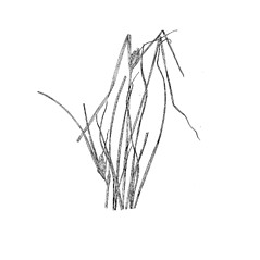 Inflorescence: Carex sychnocephala. ~ By Harry Creutzburg. ~ Copyright © 2018 The New York Botanical Garden. ~ http://www.copyright.com ~ Kenneth K. Mackenzie. North American Cariceae, Vols. 1 & 2. Copyright 1940 The New York Botanical Garden