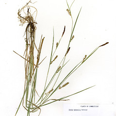 Plant form: Carex tetanica. ~ By CONN Herbarium. ~ Copyright © 2017 CONN Herbarium. ~ Requests for image use not currently accepted by copyright holder ~ U. of Connecticut Herbarium - bgbaseserver.eeb.uconn.edu/
