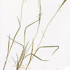 Leaves: Carex tetanica. ~ By CONN Herbarium. ~ Copyright © 2017 CONN Herbarium. ~ Requests for image use not currently accepted by copyright holder ~ U. of Connecticut Herbarium - bgbaseserver.eeb.uconn.edu/