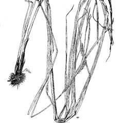 Plant form: Carex trichocarpa. ~ By Harry Creutzburg. ~ Copyright © 2019 The New York Botanical Garden. ~ http://www.copyright.com ~ Kenneth K. Mackenzie. North American Cariceae, Vols. 1 & 2. Copyright 1940 The New York Botanical Garden