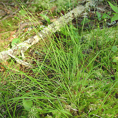 Plant form: Carex trisperma. ~ By Glen Mittelhauser. ~ Copyright © 2020 Glen Mittelhauser. ~ www.mainenaturalhistory.org