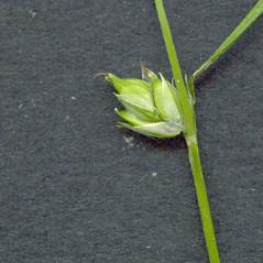 Perigynia: Carex trisperma. ~ By Glen Mittelhauser. ~ Copyright © 2019 Glen Mittelhauser. ~ www.mainenaturalhistory.org