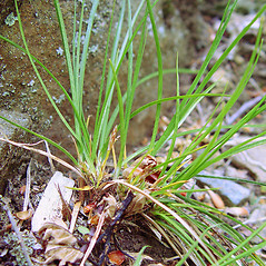 Leaves: Carex umbellata. ~ By Arthur Haines. ~ Copyright © 2020. ~ arthurhaines[at]wildblue.net