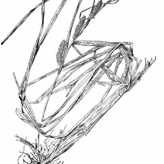 Plant form: Carex utriculata. ~ By Harry Creutzburg. ~ Copyright © 2017 The New York Botanical Garden. ~ http://www.copyright.com ~ Kenneth K. Mackenzie. North American Cariceae, Vols. 1 & 2. Copyright 1940 The New York Botanical Garden
